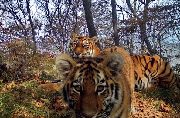 Тигриное семейство на Дальнем Востоке устроило трогательную фотосессию