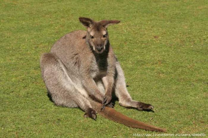 kenguru02 (700x466, 271Kb)