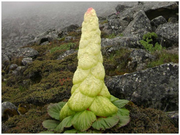 Ревень алтайский - Rheum altaicum L. Сибирско-монгольско-китайский вид. красота, особенные, природа, растения, флора, цветы