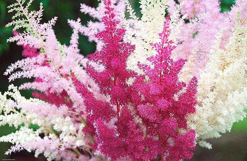 Тенелюбивые цветы