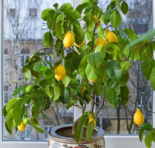 Всё о выращивании лимонов в домашних условиях