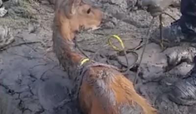 Олень настолько увяз в грязи, что не мог шевельнуться