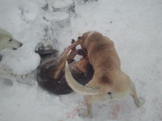 Бесчеловечность... Житель Башкирии натравил свою бойцовскую собаку на бездомного пса