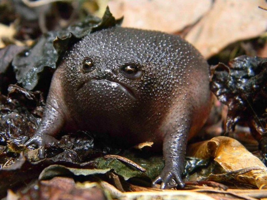 Чёрная дождевая лягушка — самое грустное земноводное в мире