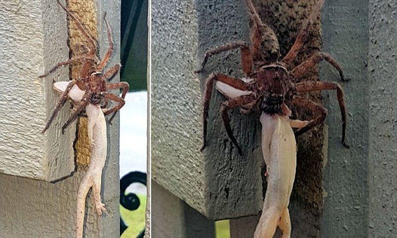 Шокирующее зрелище: паук-волк пожирает геккона