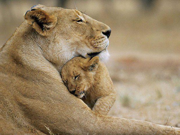 Трогательные моменты из жизни животных и их детёнышей фото, животные, детёныши, трогательные моменты