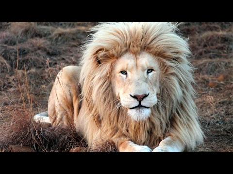 Белый лев из Южной Африки любит попозировать на камеру