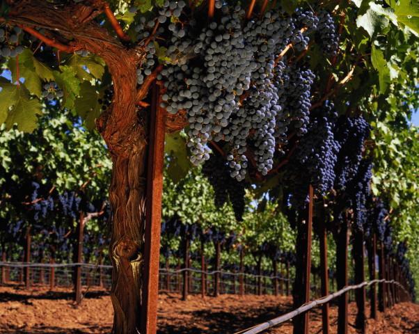Вырастить виноград своими руками