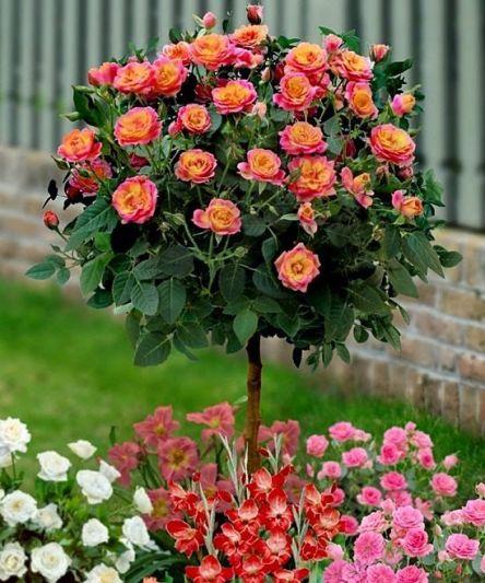 Уход за штамбовыми розами — …