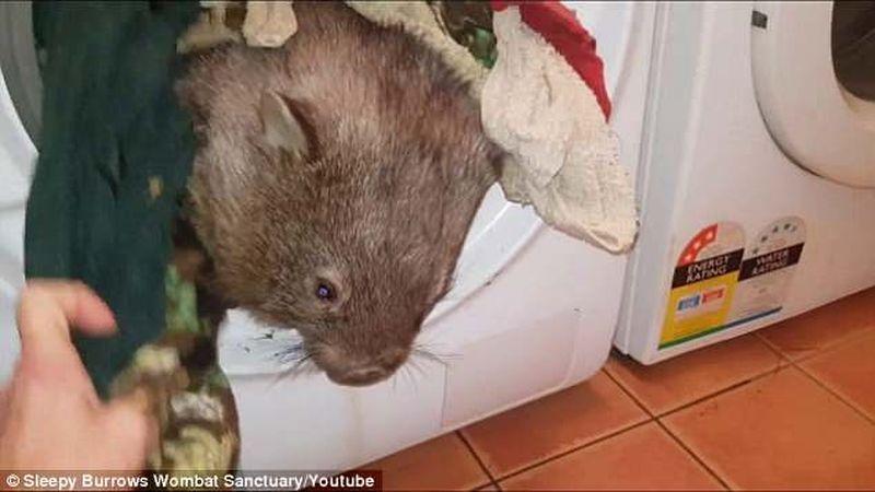 Вомбат принял стиральную машину за нору и нырнул внутрь