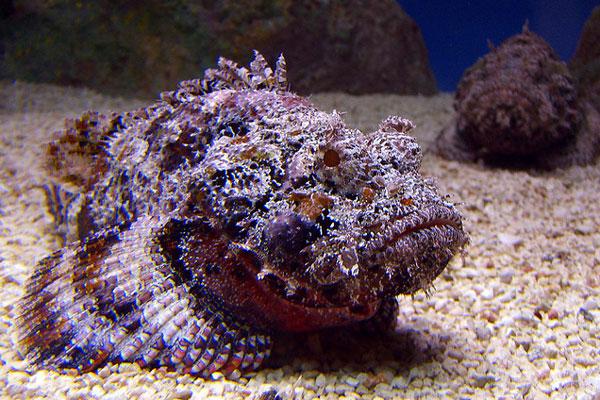 Опасная рыба-камень
