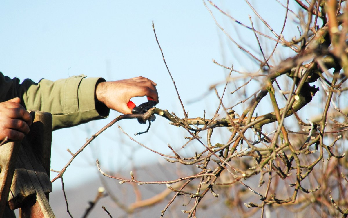Как правильно обрезать яблоню весной – советы начинающим садоводам
