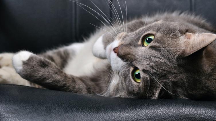 Фелинотерапия: от чего и как лечат кошки?