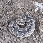 A saw scaled viper in defense mode