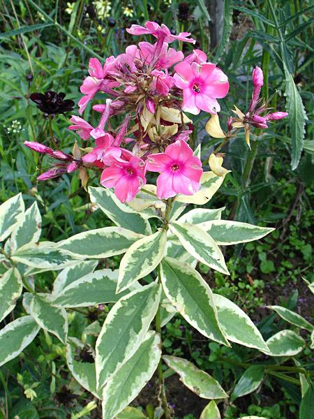 Флокс метельчатый (Phlox paniculata)