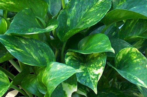 Растения-помощники в сохранении нашего здоровья