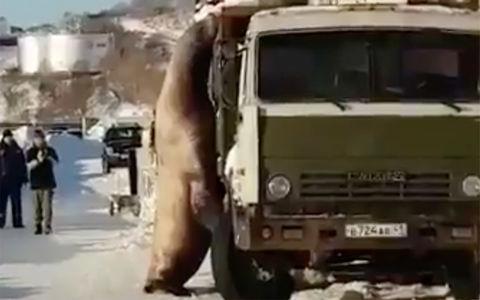 Морской лев решил полакомиться рыбой прямо из кузова КАМАЗа