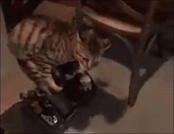 Кот на гироскутере