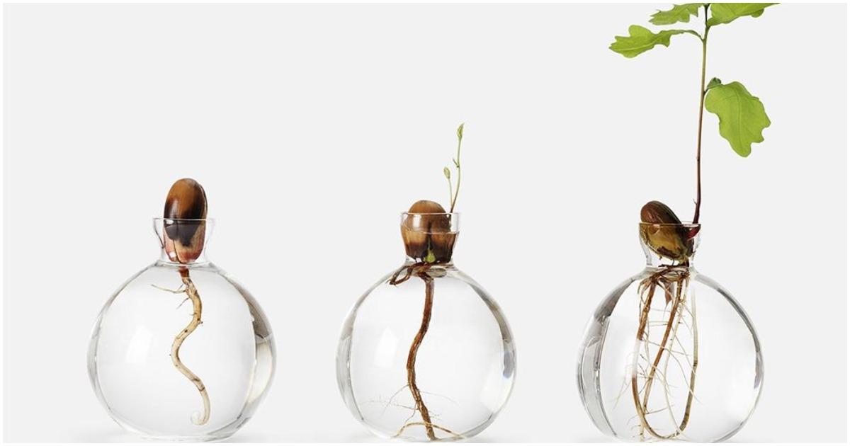 Природная красота зарождающейся жизни: выращиваем дуб из желудя