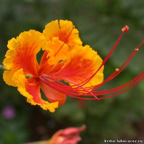 значение цветка акации