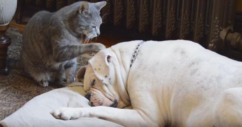 Кошка захотела разбудить этого грозного пса. Посмотрите, каким образом она решила это сделать!