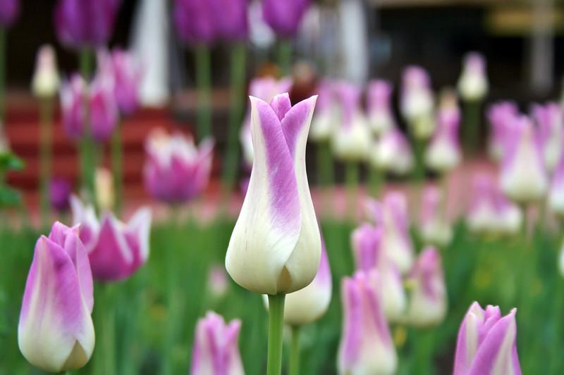 Магия тюльпанов