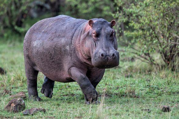 В Киевском зоопарке показали фитнес для бегемотов
