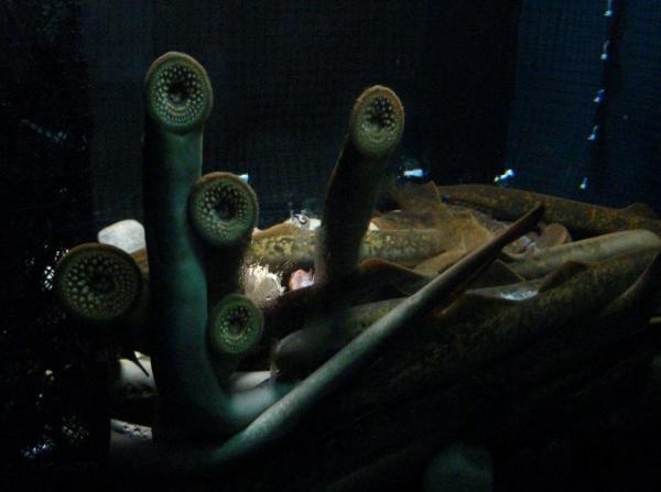 4 факта о миногах — самых мерзких животных в мире