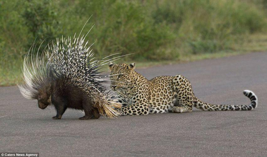 Схватка леопарда и дикобраза животные, схватка