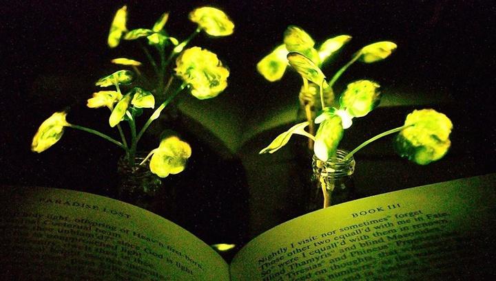 Созданы биолюминесцентные растения, способные заменить светильники и даже фонари