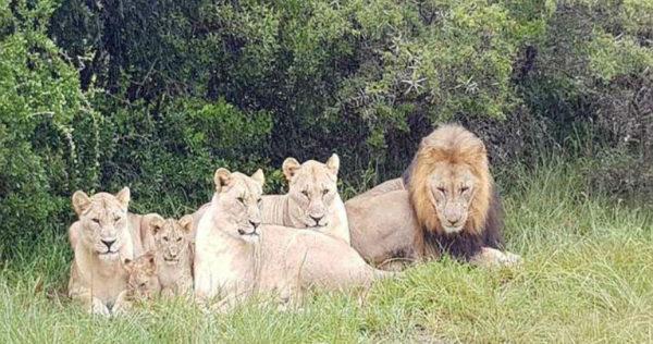 Львы съели браконьеров, кото…