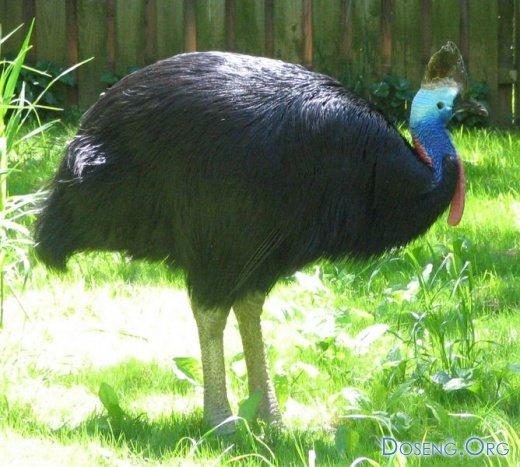 Казуар — самая опасная птица…