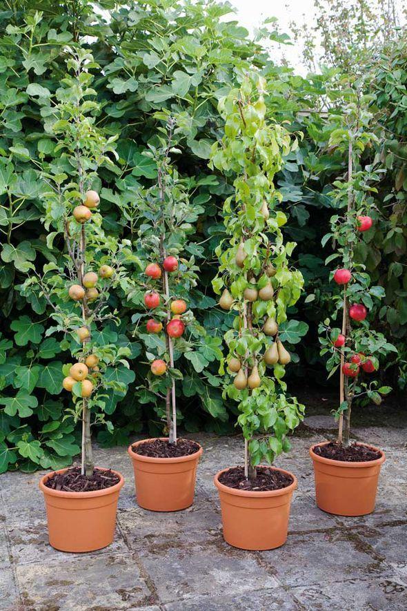Особенности выращивания колонновидок