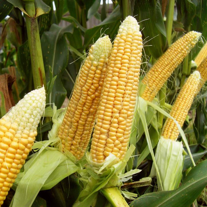 Андрей Туманов о кукурузе на дачных участках