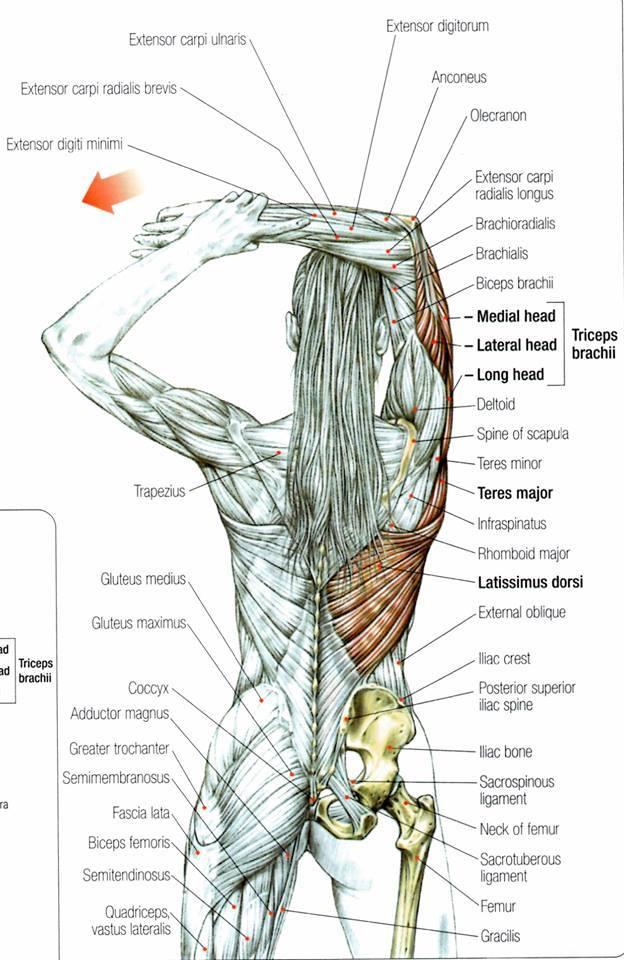 7 сегментов мышечного панцир…