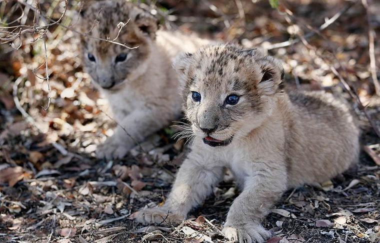 Ученые показали первых в мире львят, рожденных из пробирки