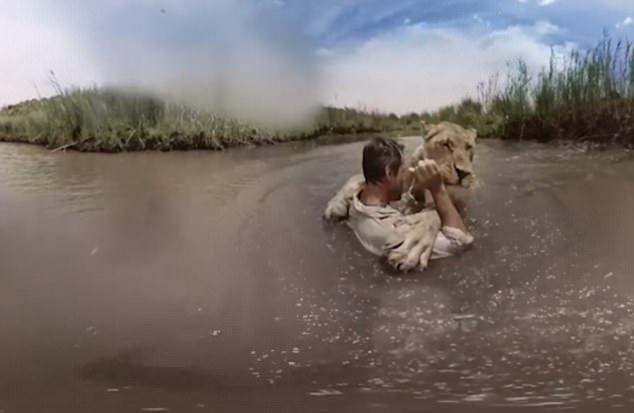 Львица прыгает в воду к человеку, спасшему ее от голода