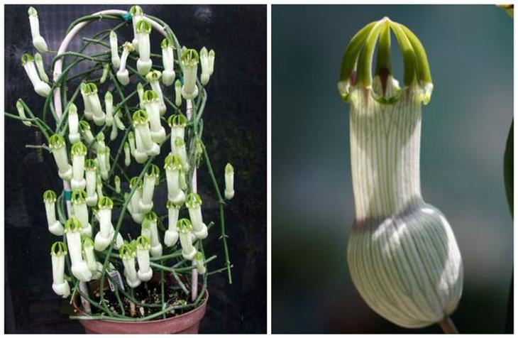Церопегия (Ceropegia ampliata) красота, особенные, природа, растения, флора, цветы