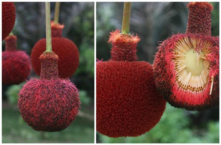 Паркия Клаппертона (Parkia biglobosa) красота, особенные, природа, растения, флора, цветы