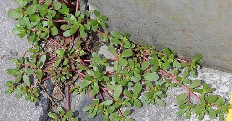 Внимание! Если вы заметите это растение у себя во дворе, ни в коем случае не уничтожайте его!