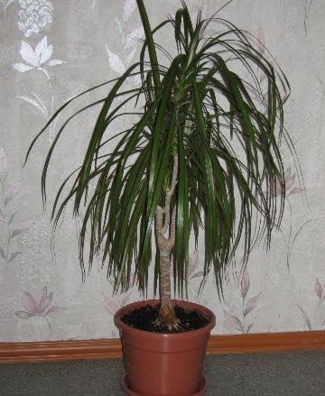 комнатные цветы фото и названия пальмы