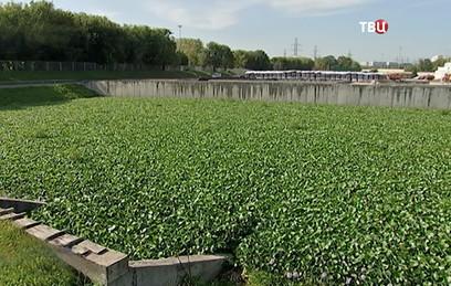 Гиацинты помогли поддержать чистоту московских водоемов
