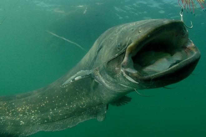 Самые большие рыбы, которые выловили в реках России
