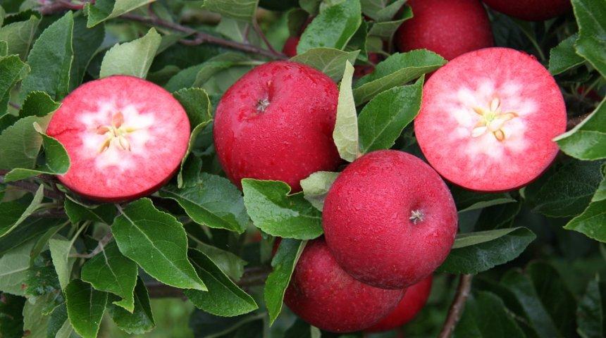 Яблоки с красной мякотью – что это за сорта и чем они лучше обычных