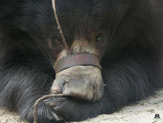 Морду медведя стягивала вере…