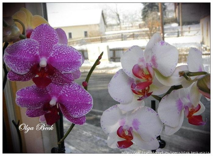 Орхидеи Фаленопсис (Phalaenopsis). Пересадка.