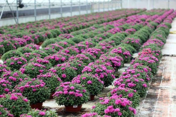 Профессионально выращенные хризантемы станут прекрасным украшением вашего сада