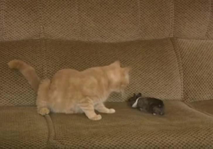 Кошка-мама обласкала маленького крольчонка