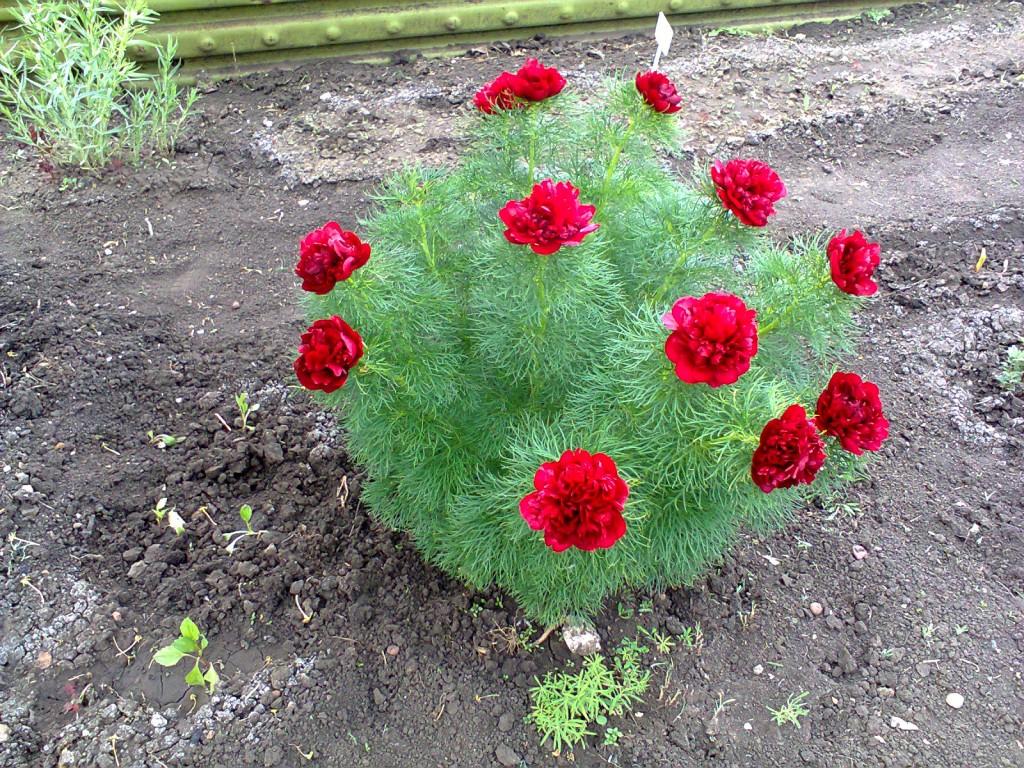 Воронец цветок выращивание и уход в