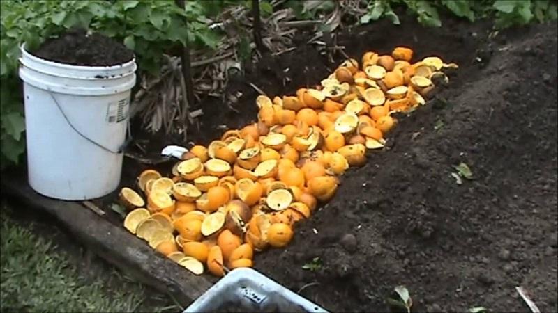 апельсин в компосте